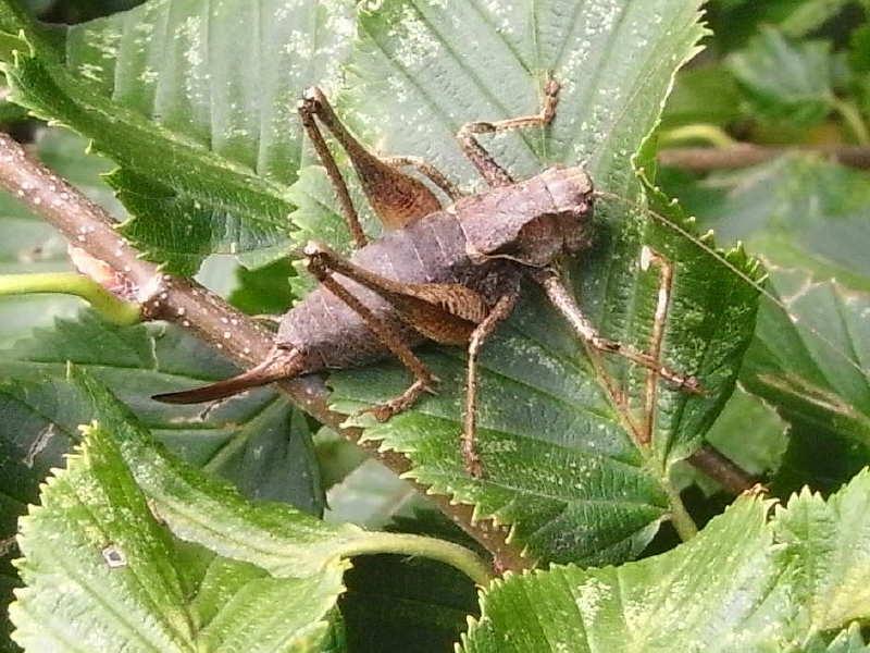 12 pholidoptera griseoaptera 51