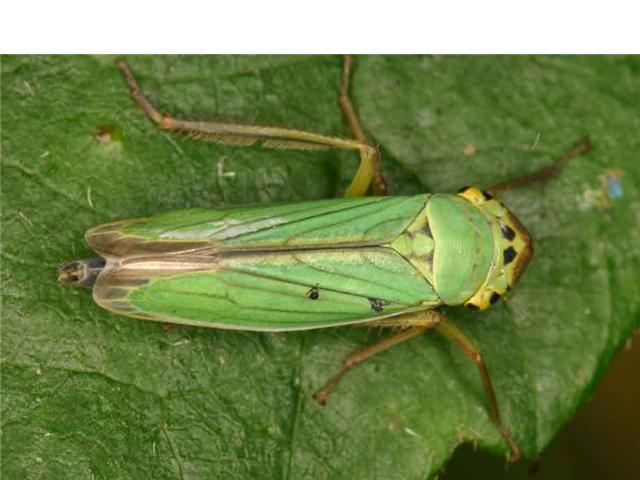 19 cicadella viridis 45 photo j roses