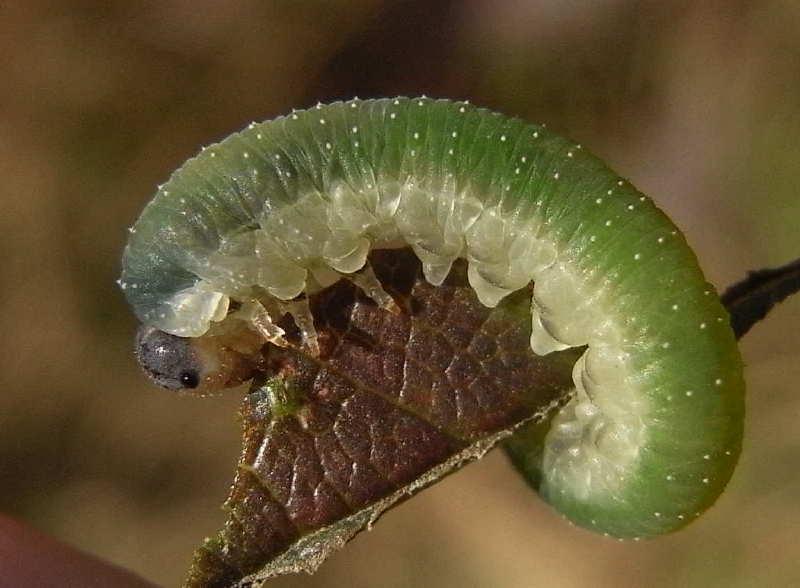 25 larve de tenthrede