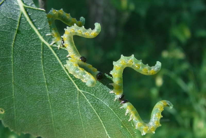 25 tenthredes larves sur betula