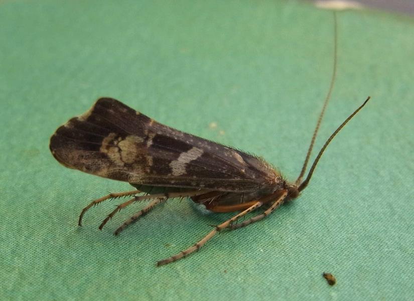26 limnephilus lunatus