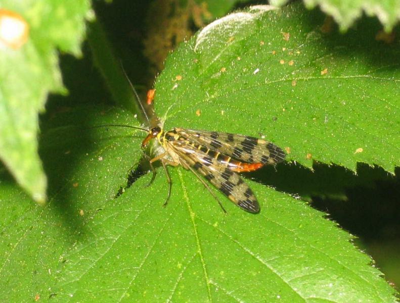 28 panorpa communis femelle