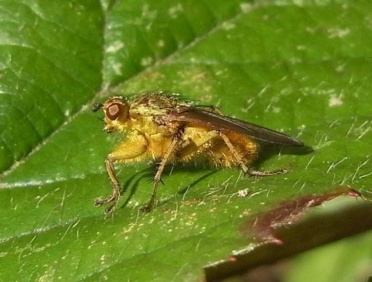 29 scatophaga stercoraria male