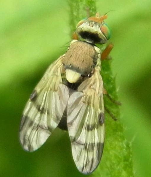 29 urophora stylata male 1