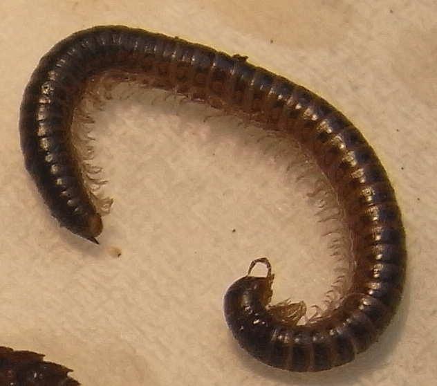50 diplopoda julida julidae 3
