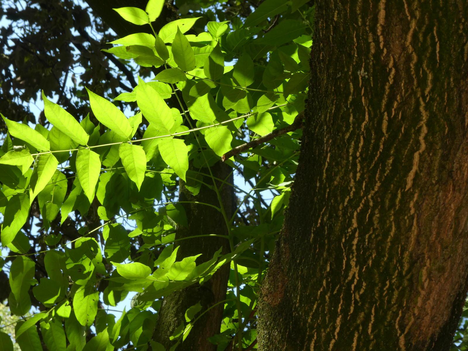 Ailante feuilles et tronc