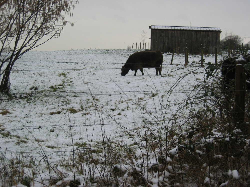 Galloway broutant sous la neige