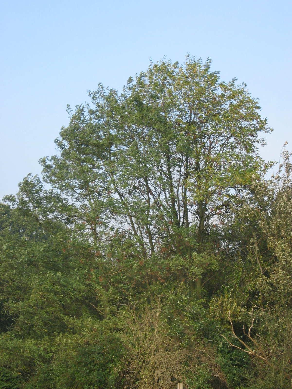 Robinia pseudoacacia 9